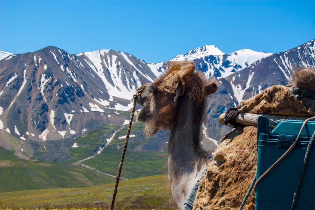 Camel at Altai mountains