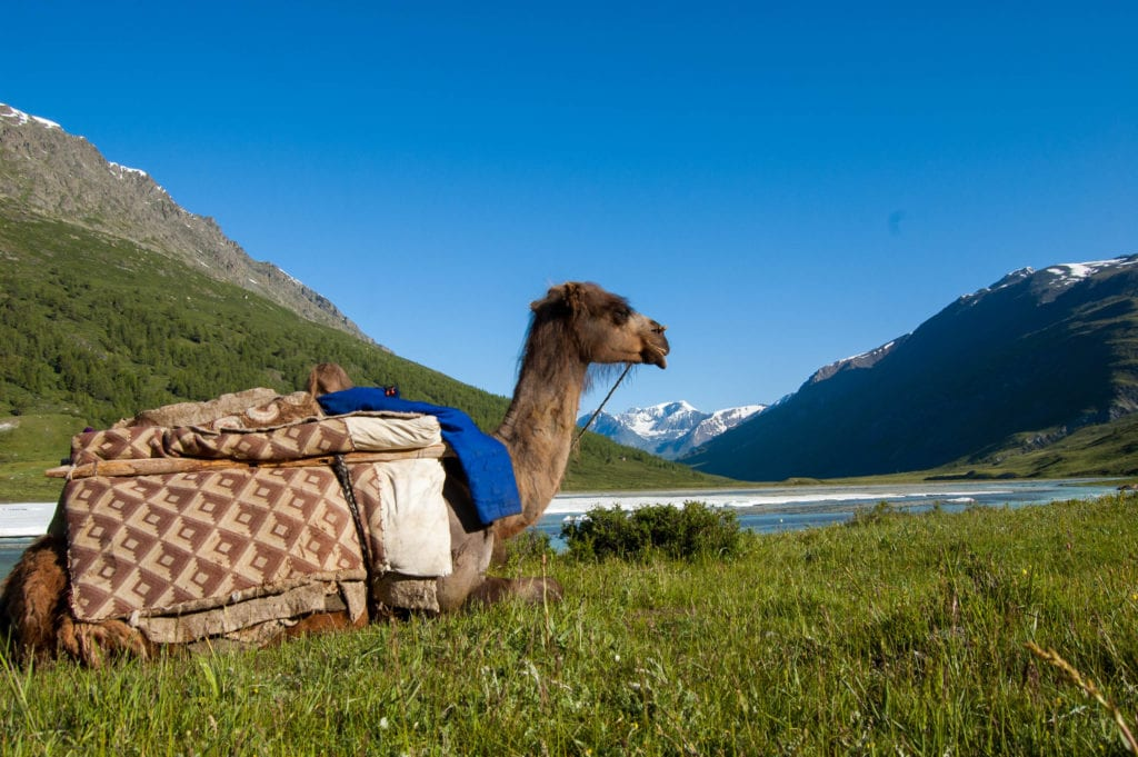 camel in front of altai mountians