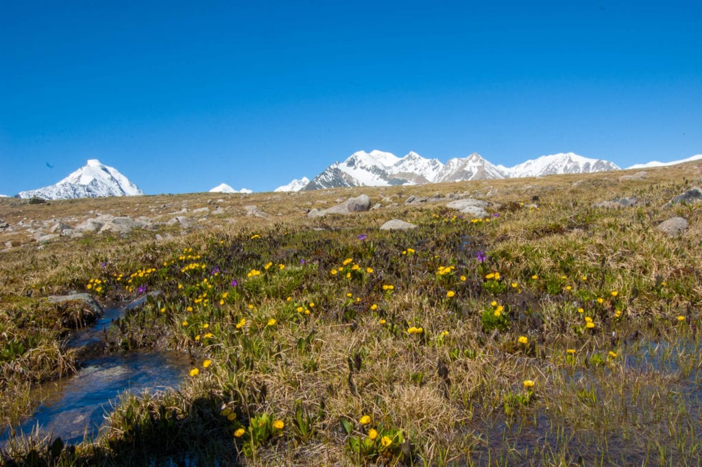 flowers at the altai mountains