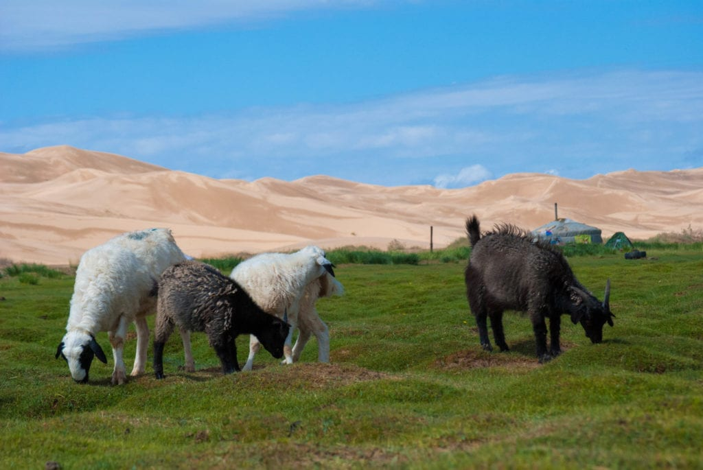 goats at sand dunes