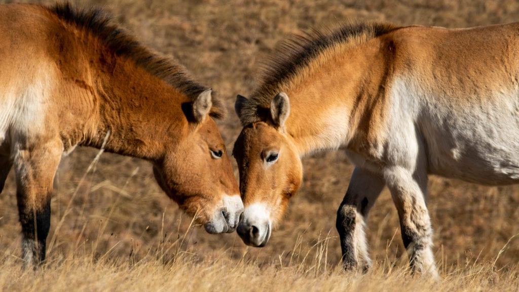 przewalski Takhi horses